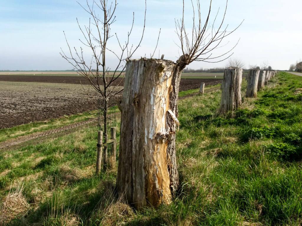 Afgezaagde bomen komen opnieuw tot leven