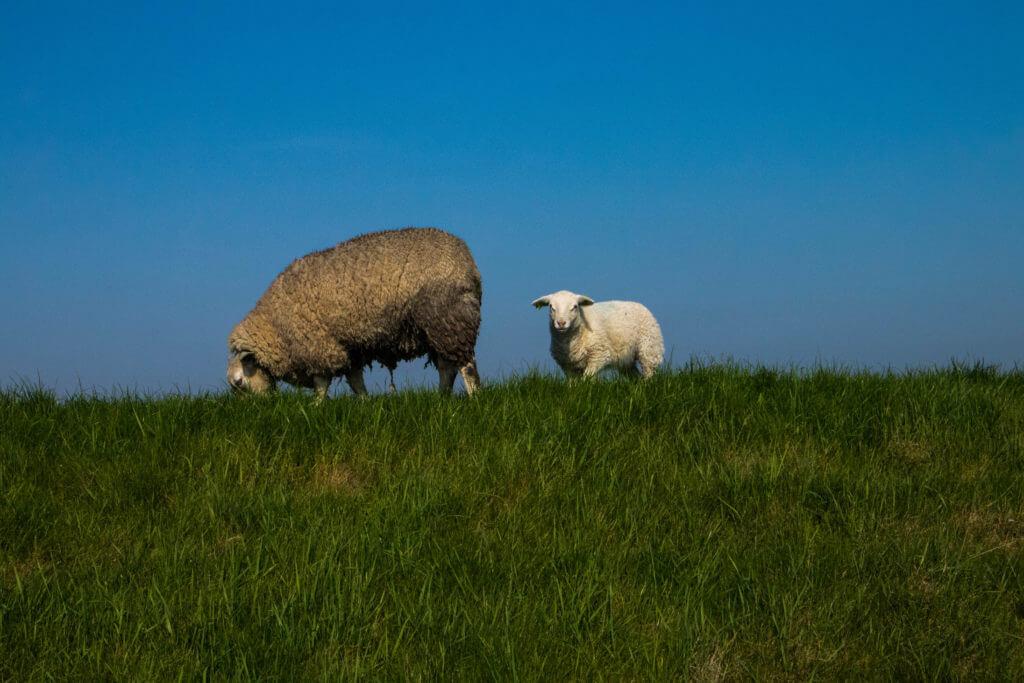 Op en top voorjaar: schapen met lammeren aan de dijk