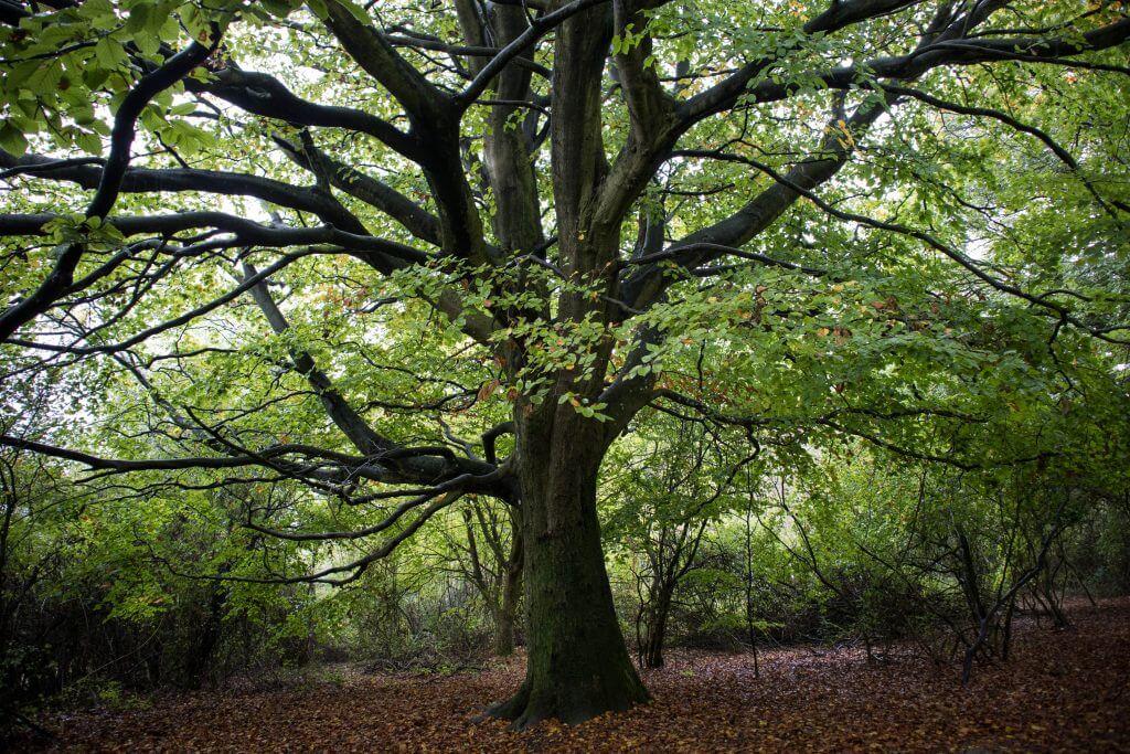 Prachtige grote bomen op de heuvels van Box Hill