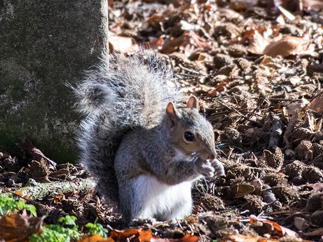 Grijze eekhoorns dartelen vrolijk rond bij de St Mary Church of Hitchin