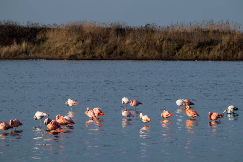 Flamingo's in de Grevelingen