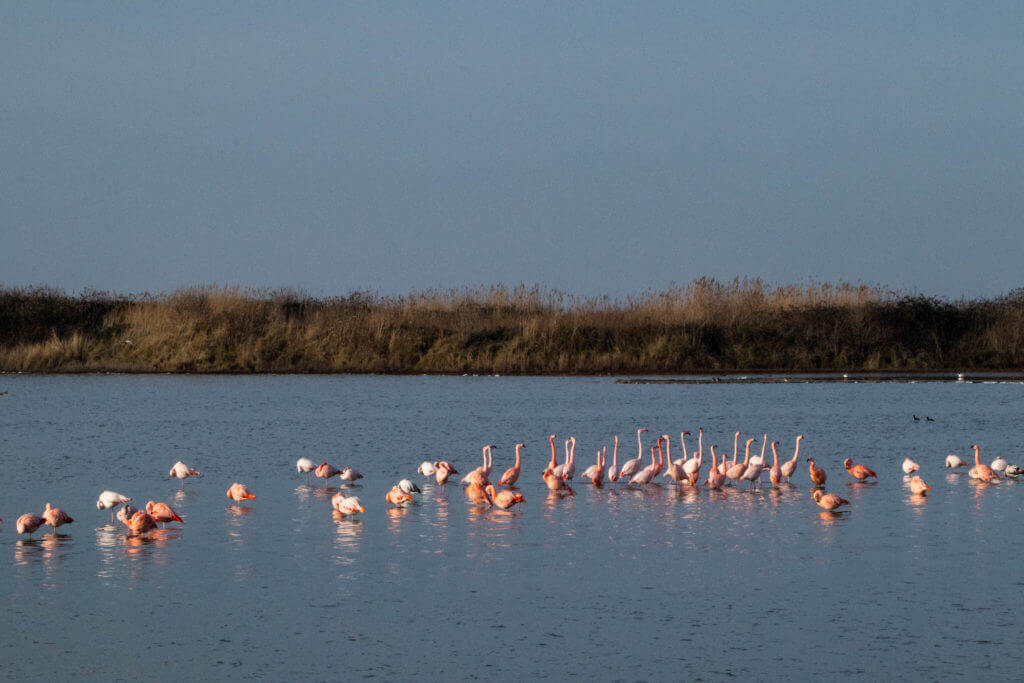 Flamingo in Zeeland