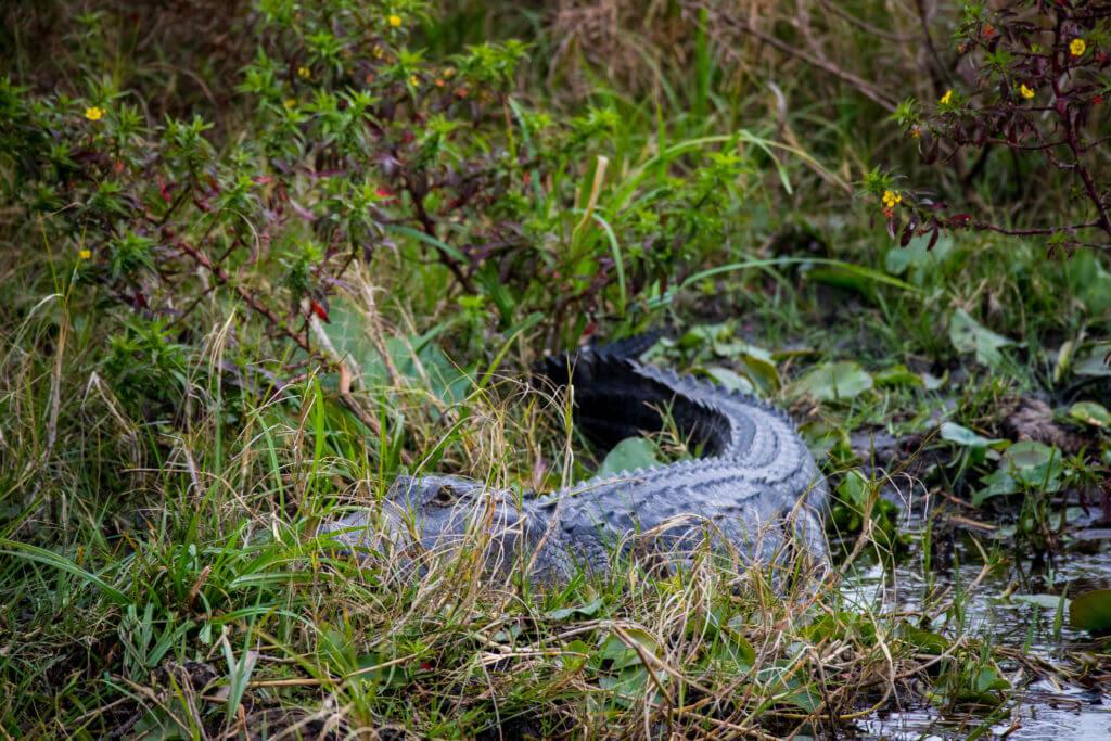 Nog zo'n alligator, gezien tijdens de airboat tour