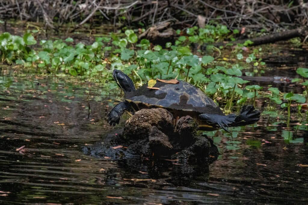 Met gestrekte poten ligt deze schildpad op te warmen