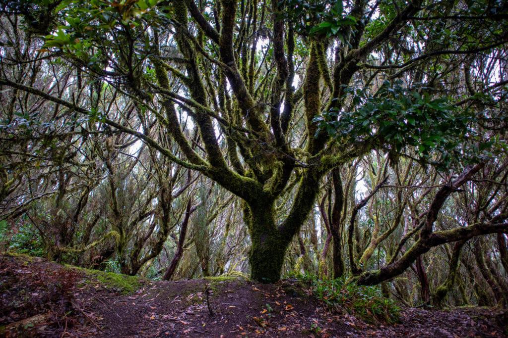 Wandelen op Tenerife in een echt regenwoud