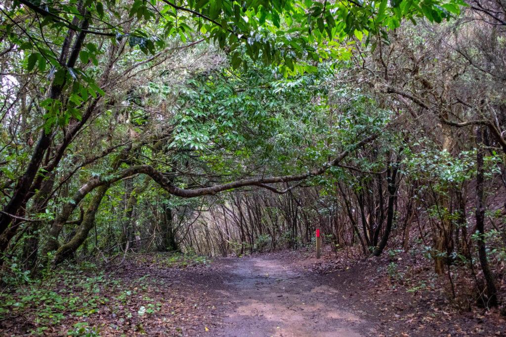 Wandelen op Tenerife over een pad vol kronkelende bomen