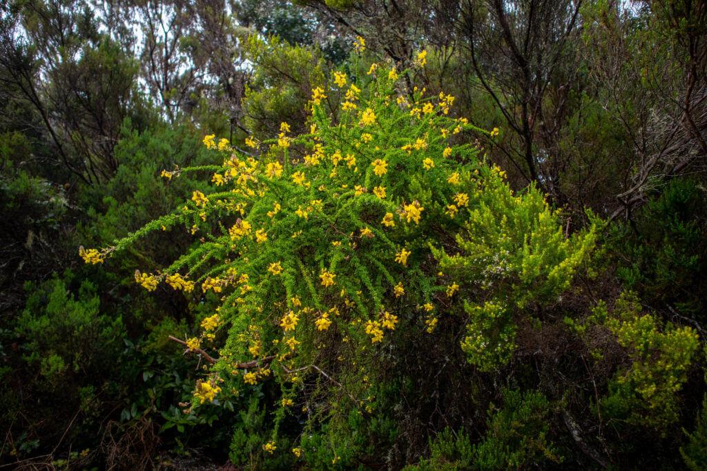 Een waterval van gele bloemen in het regenwoud van Anaga