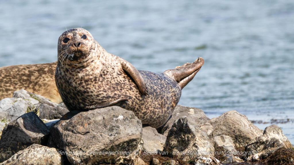 De gewone zeehond kan net zo goed grijs zijn als de grijze zeehond. Foto: Henk Straatman