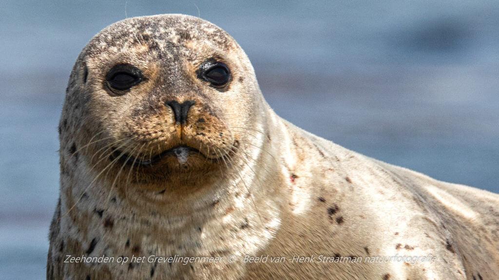 Ook een zeehond in Zeeland kwijlt weleens. Foto: Henk Straatman