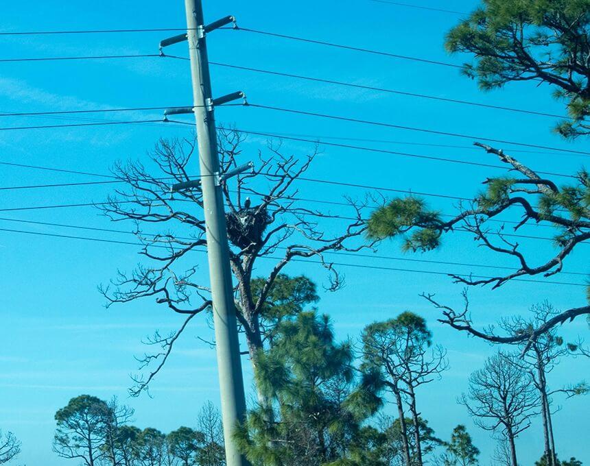 Nest van een Amerikaanse Zeearend op Cape Canaveral