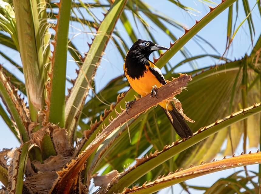 Deze oranje Troepiaal fotografeerde ik op Bonaire