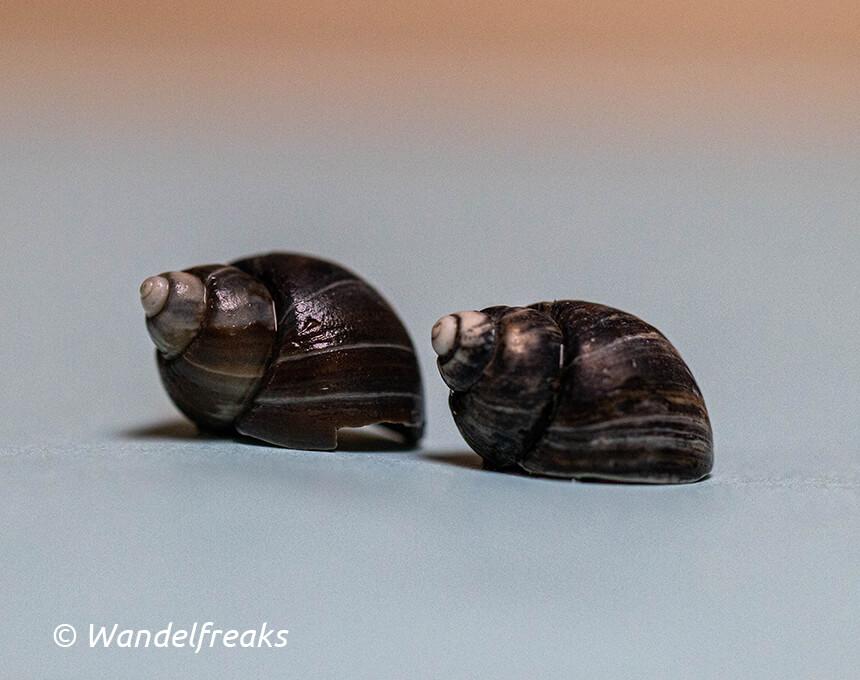 Deze IJslandse tepelhorens - Amauropsis islandica -  zijn meer dan 21.000 jaar oud