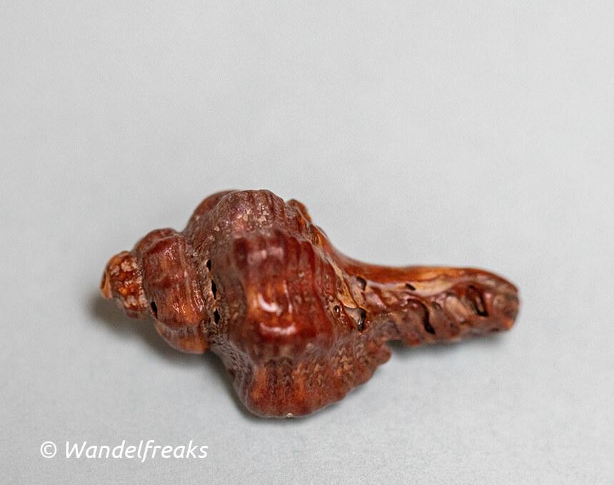 Fossiele stekelhoren of oesterboorder