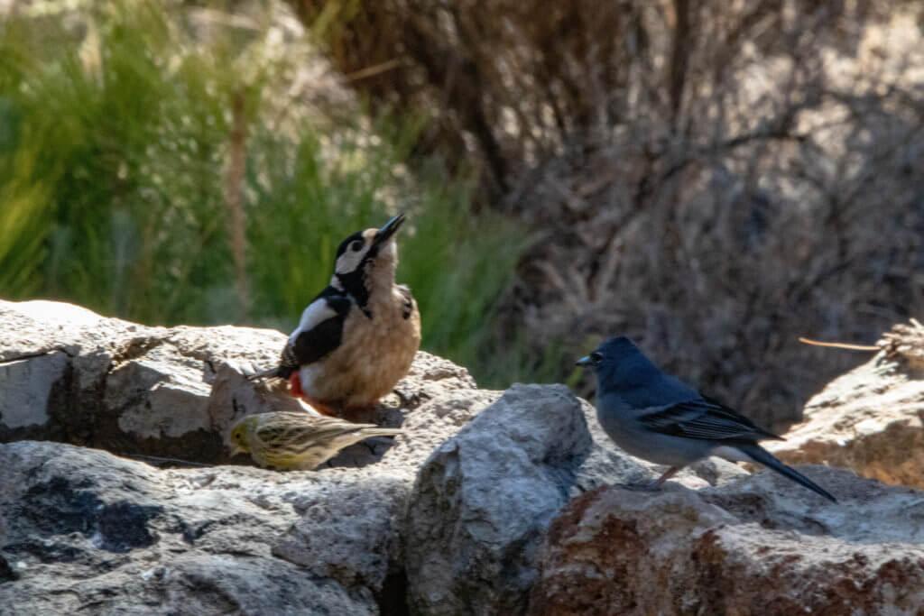 Vogels Tenerife
