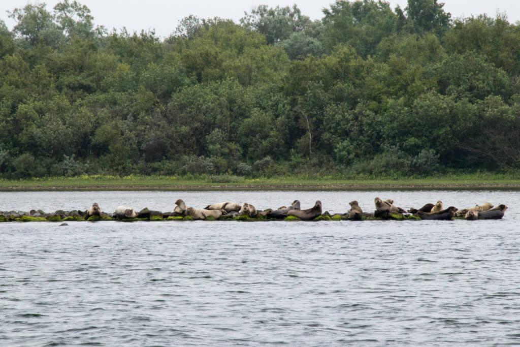 Zeehonden in de Grevelingen