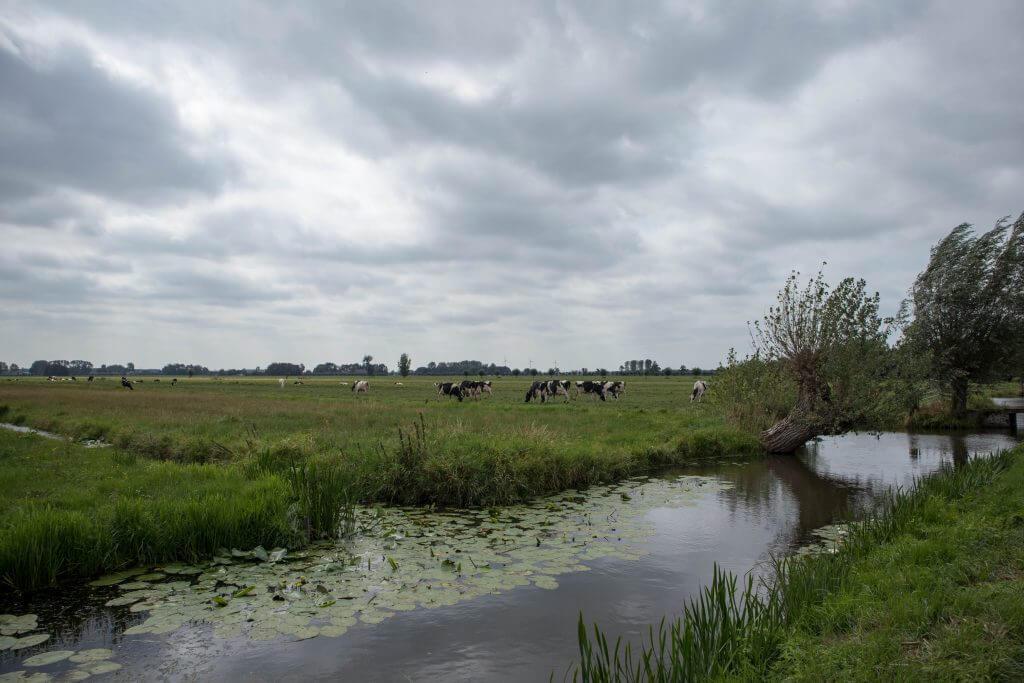 Hollandse vergezichten met koeien en knotwilgen