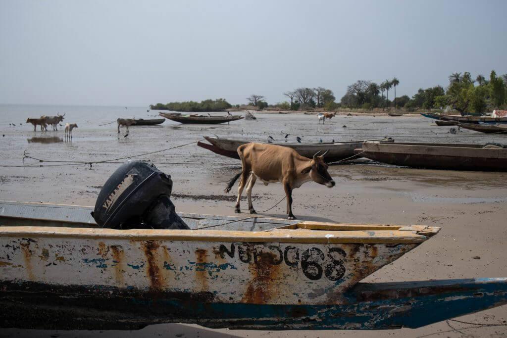 Koeien op het strand
