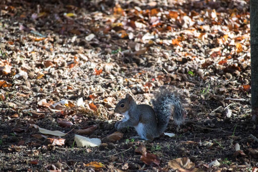 De grijze eekhoorn komt oorspronkelijk uit Amerika en Canada, maar is nu erg algemeen in Engeland