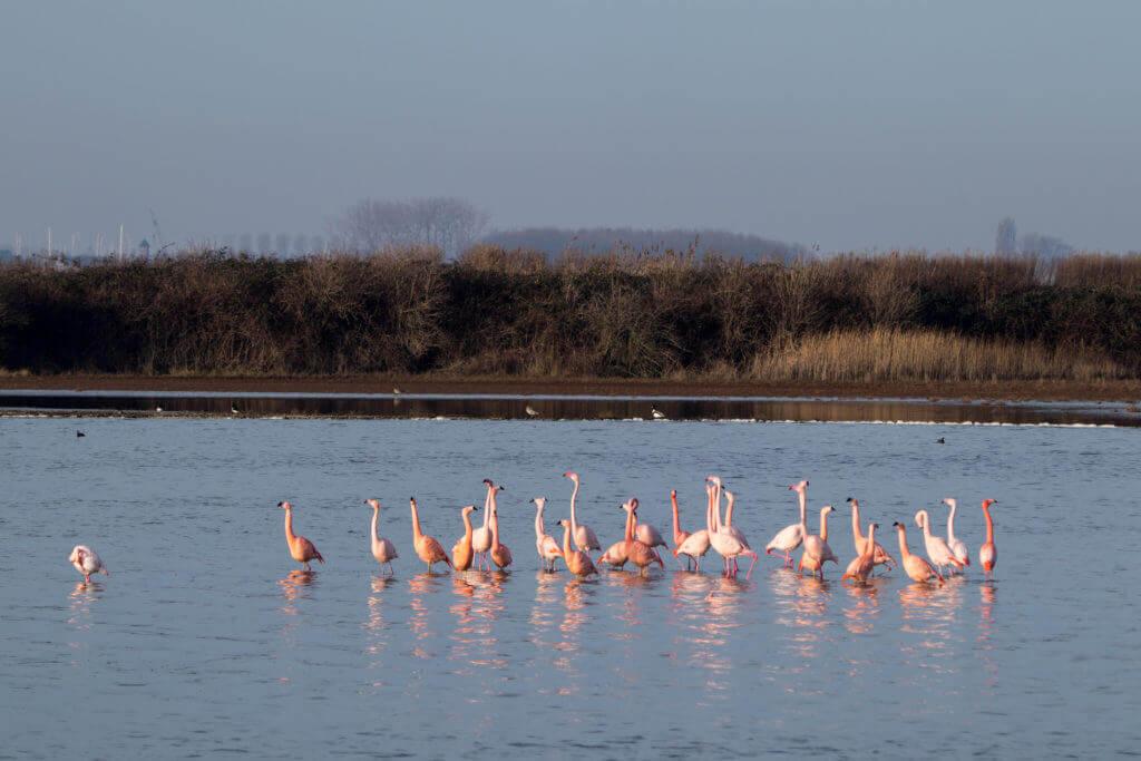 Flamingo balts Nederland
