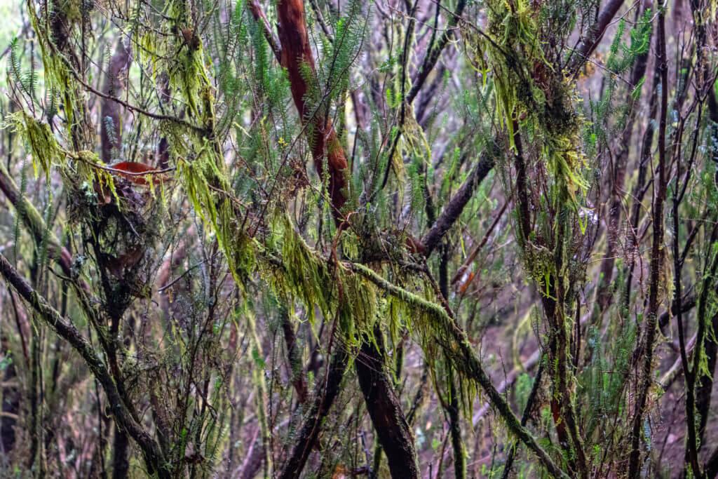 De mystiek druipt letterlijk van de bomen in Parque Rural de Anaga