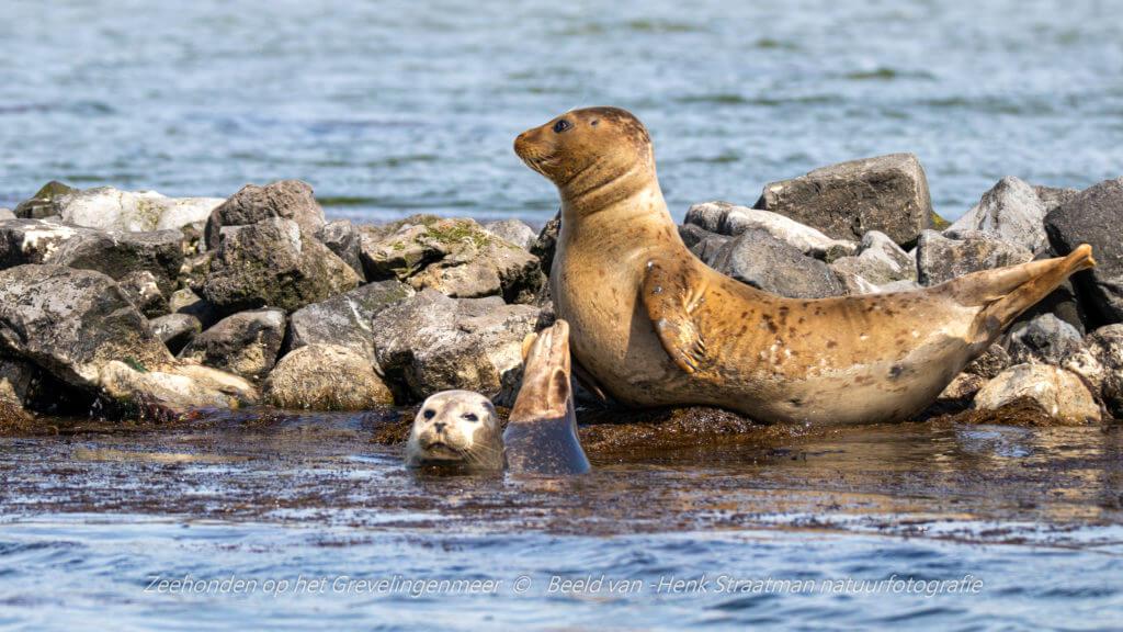 De zeehonden liggen graag op te warmen met de kop en staart omhoog, richting de zon. Foto: Henk Straatman