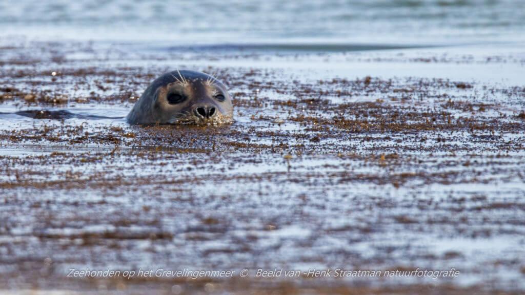 De zeehond is niet nieuwsgierig, maar waakzaam. Foto: Henk Straatman