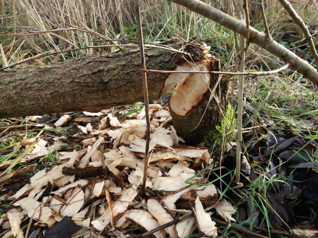 bevers in de biesbosch