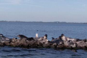 zeehonden grevelingen