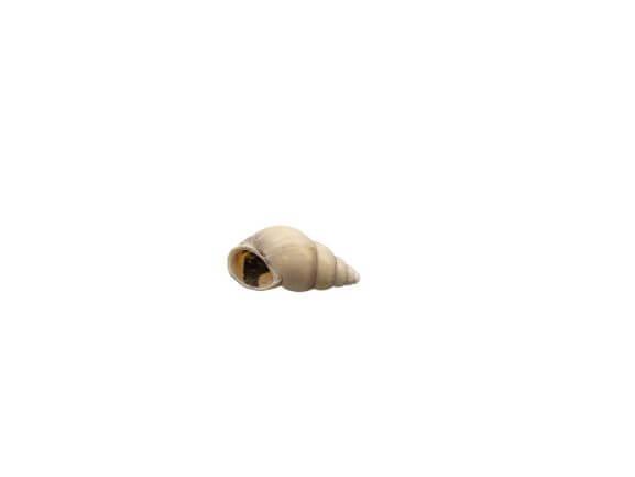 Miniatuur schelpje